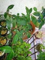 차나무 자생론(2) 삼국유사에 근거한 우리차 자생론