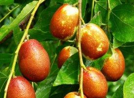 신기한 대추나무