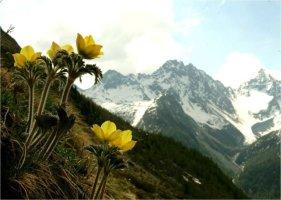 세상에서 가장 아름다운 꽃, 알프스할미꽃