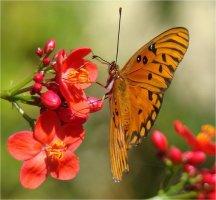 세상에서 가장 아름다운 꽃, 스파이시 자트로파(Spicy Jatropha)