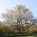 제주 왕벚나무와 일본 왕벚나무가 서로 다른 별개의 종(種)