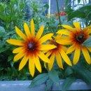루드베키아 꽃말