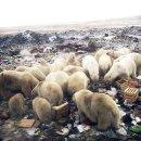 먹이찿아 러시아 마을로 내려온 북극곰52마리