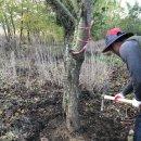 왕벚나무 작업상차
