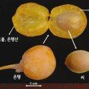 은행나무의 열매에서는 왜 악취가 날까?