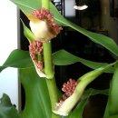 인사를 // 황금돼지해를 맞이하면서친사모에 올려주셨던 행운목 꽃을 모아봅니다