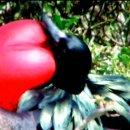갈라파고스제도의 군함새의 구애 활동