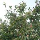 산딸나무 열매