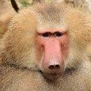 Q. 개코원숭이가 표범을 잡는다던데 개코원숭이 혼자서 이기는 게 가능한가요?