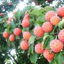 산딸나무(열매)의 효능