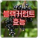 블랙커런트 효능 6가지 및 영양성분