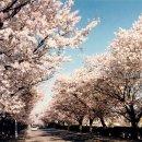 [제4회 아름다운숲 전국대회] 전북 정읍시 상동 왕벚나무거리