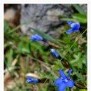 샤프베르크 산 ( 꽃 )