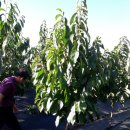 포포나무 뽀뽀나무 포포농원 방문기