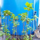 봄 식재분 (블랙커런트 .아로니아. 포포나무.) 묘목판매