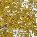 검보라색 이팝나무 열매와 노란 단풍