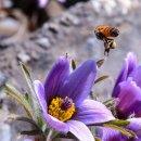 [평창군] 동강 할미꽃, 문희마을 백운산