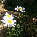 꽃이야기 - 구절초